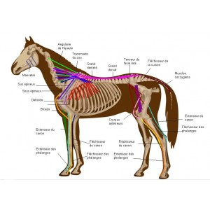 Articulations, muscles, tendons et ligaments cheval